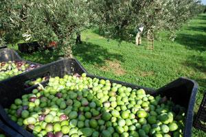 raccolta-olive